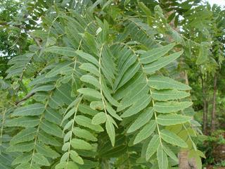 Босвелия (Boswellia serrata)