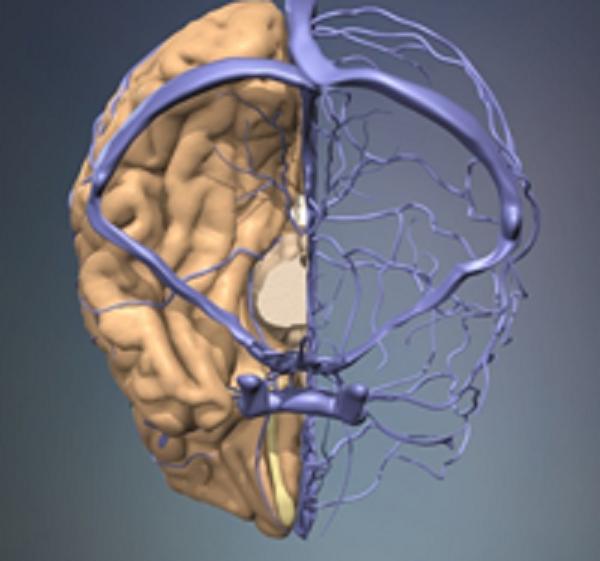 Оболочка мозговая фото