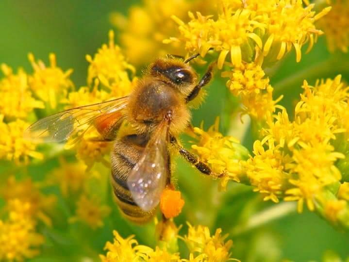 Процесс добывания цветочной пыльцы