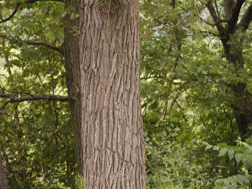 Кора дуба обыкновенного