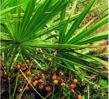 Пальма карликовая
