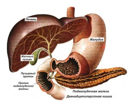 Расположение печени, желчного пузыря, поджелудочной железы