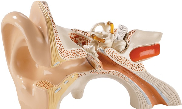 Структура уха