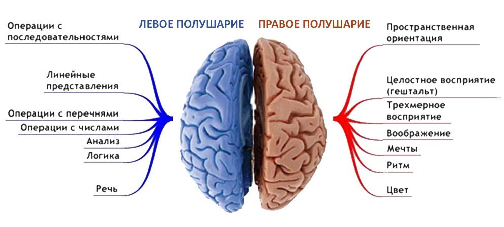 За что отвечает каждое из полушариев головного мозга.