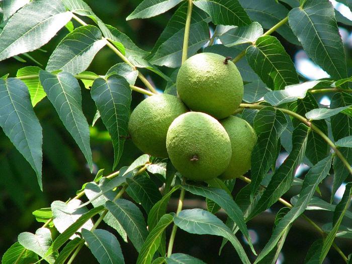 Черный орех (Juglans nigra)