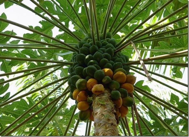Дынное дерево (Carica papaya L.)