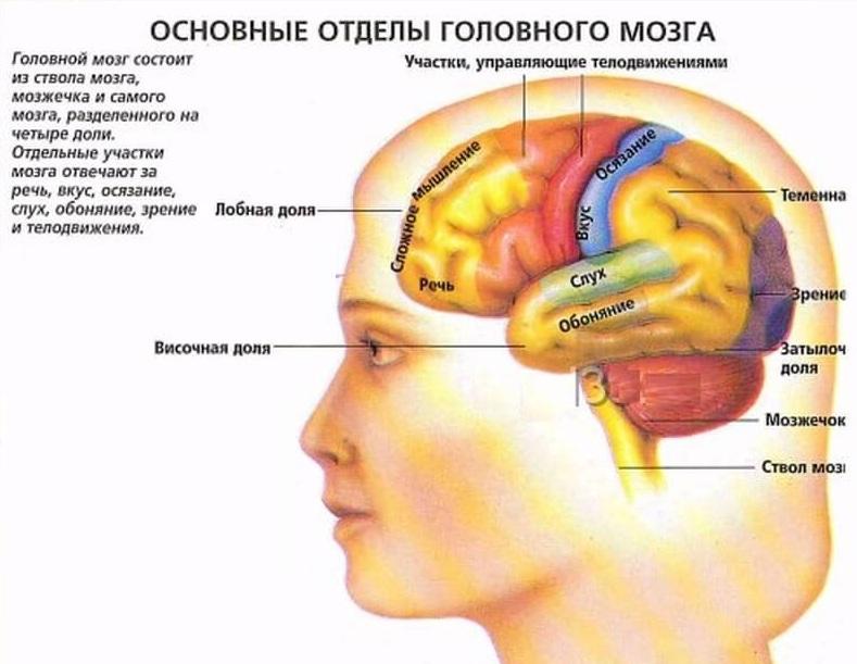 Основные отделы головного мозга