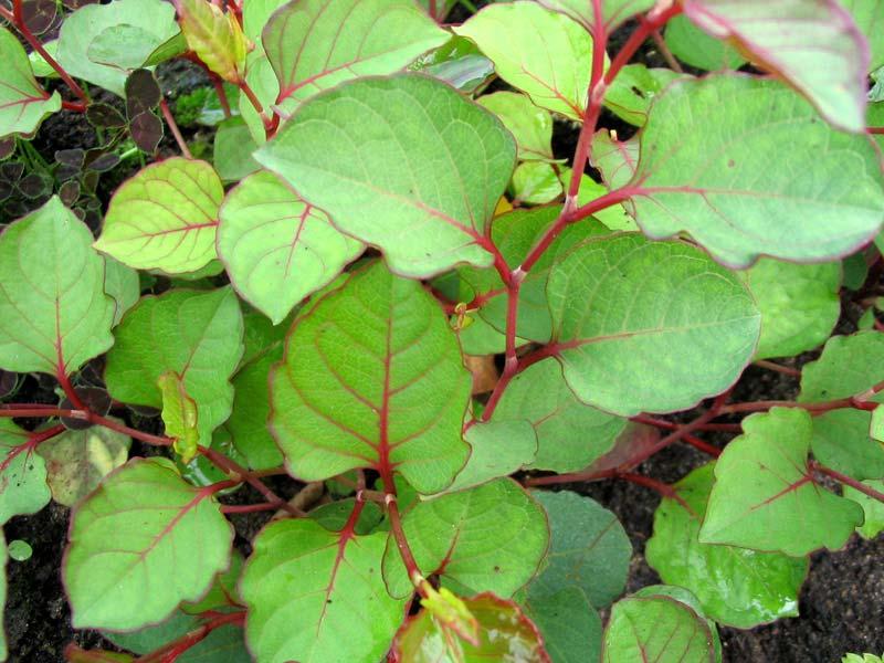 Горец (Polygonum cuspidatum)