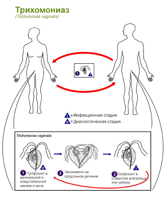 Развитие трихомониаза