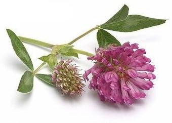 Красный клевер (Trifolium pratense)