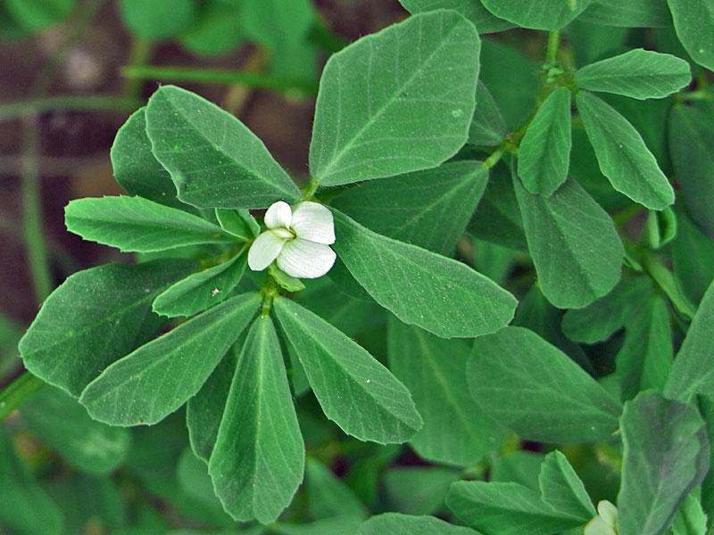 Пажитник (Trigonella foenum-graecum L.)