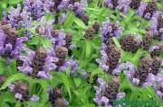 Черноголовки обыкновенные - ценное лекарственное растение