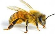 Пчелиный яд – новое действенное средство против ВИЧ
