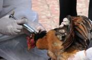Птичий грипп снова в Китае, но уже в новом обличье.