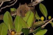 Афганские пальмовые крыланы - настоящая кладезь вирусов