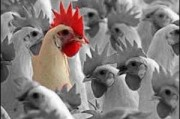 Новая версия птичьего гриппа продолжает беспокоить эпидемиологов