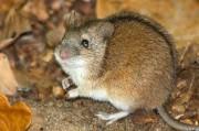 Как мышь-полёвка стала помощницей в терапии алкогольной зависимости