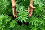 Украинцев могут начать лечить гашишем и марихуаной