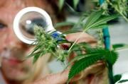 Конопля против Альцгеймера: В Украине будут лечить ненаркотической марихуаной