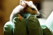 «Химерные мыши» - спасительницы человечества