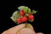 Ученые из Индии противопоставили Денге растительное средство