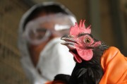 Вакцинация оказалась пособницей птичьего гриппа