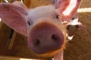 Донорские органы идут «в тираж» благодаря химерам свиней