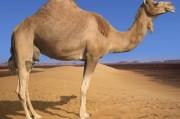 Оманские верблюды стали главными подозреваемыми в распространении ближневосточного вируса
