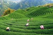В некоторых видах чая обнаружен свинец